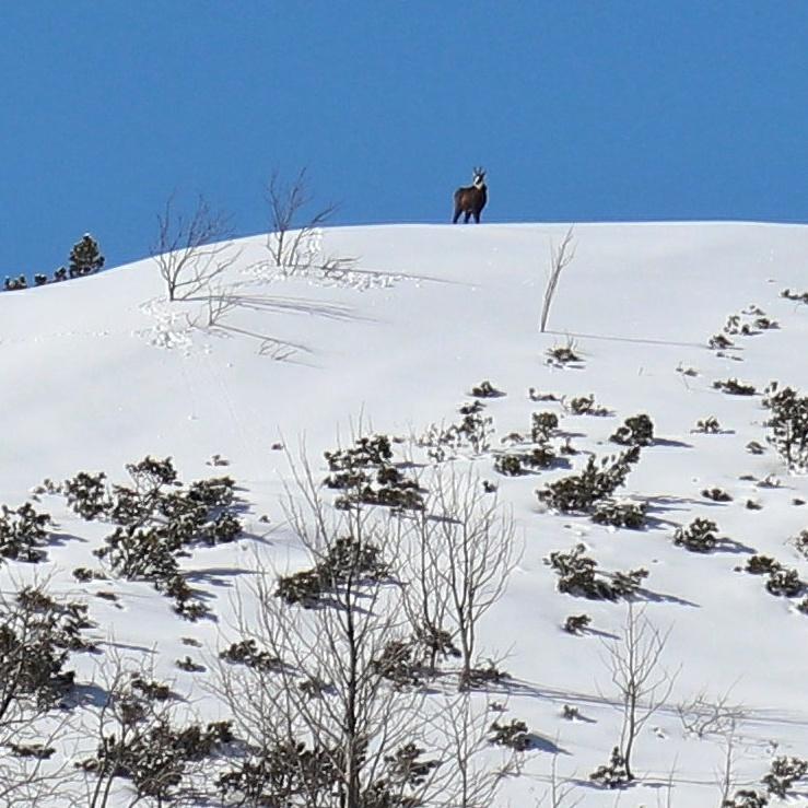 Kozica zimową porą w okolicach Hali Gąsienicowej