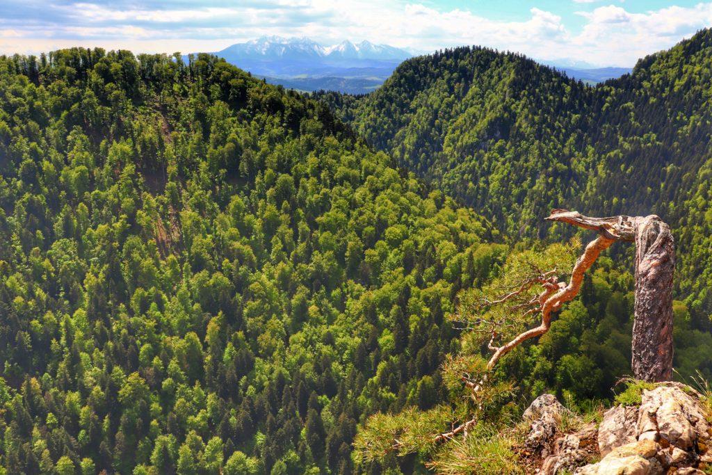 Sosna na szczycie Sokolica, widok na Tatry